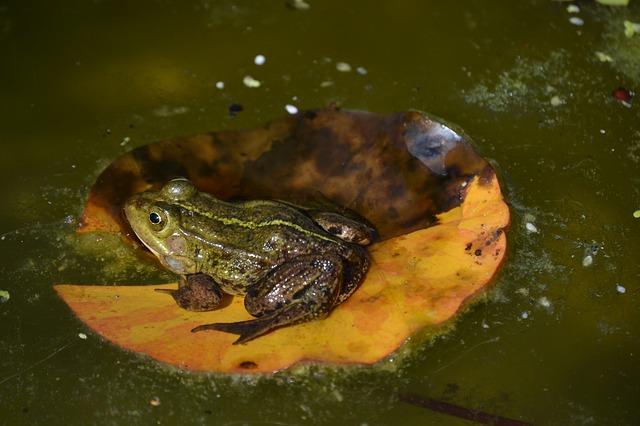 žába na listě
